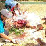 Dinas Peternakan dan Kesehatan Hewan Situbondo Temukan Bekas Cacing Hati dan Paru di Hewan Kurban