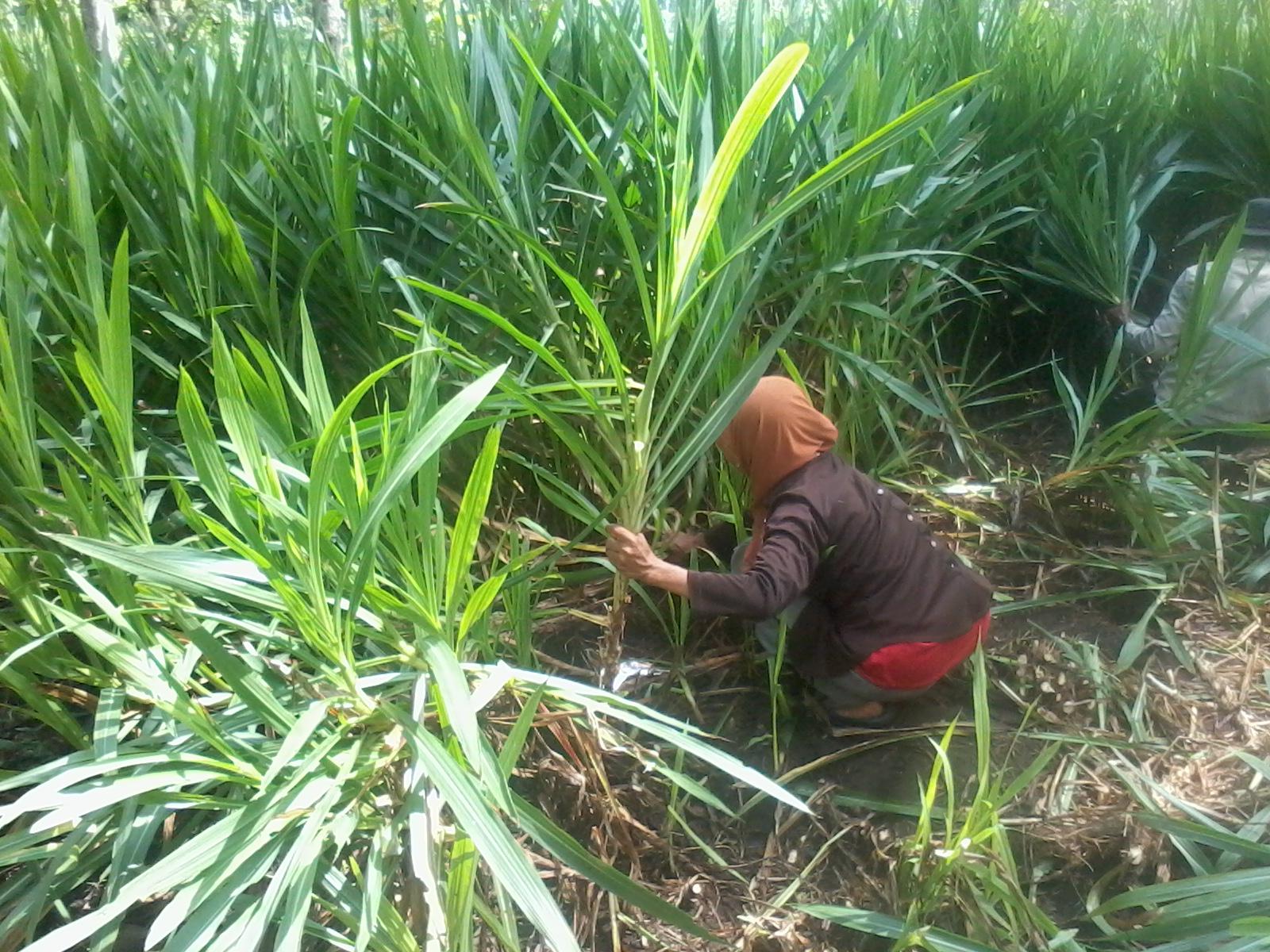 Petani saat memanen rumput gajah. (Foto: istimewa)