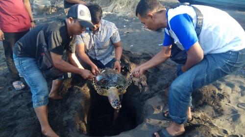 Warga hendak menguburkan Penyu Sisik yang ditemukan mati di Pantai Cacalan