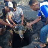 Seekor Penyu Sisik Ditemukan Mati di Pantai Cacalan, Diduga Akibat Tersangkut Jaring Nelayan