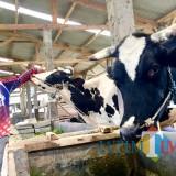 Susu Pasteurisasi dari Dusun Brau Langganan ke Pulau Dewata