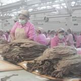 Proses pengolahan tembakau cerutu di gudang tembakau milik PTPN X di Jember.(Foto : Aunur Rofiq/BlitarTIMES)