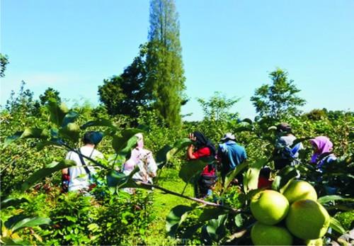 Salah satu potensi wisata petik apel di Poncokusumo. (Ist)
