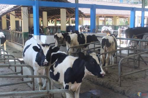 Kandang peternakan sapi perah di BBPP Batu.(Foto : Aunur Rofiq/BlitarTIMES)