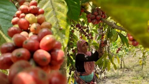Sejenak Menjadi Petani Kopi di Desa Taji, Penghasil Kopi Terbaik Dunia