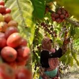Petani Kopi Desa Taji saat memanen biji kopi (Pipit Anggraeni/MalangTIMES).