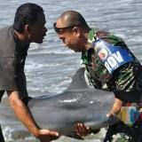 Viral, Video Dan Foto anggota TNI Selamatkan Ikan Lumba-Lumba