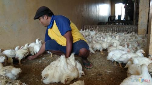 Pegawai UD Barokah di sentra ayam ras Kebalen Wetan, Kota Malang tengah melayani pembeli. (Foto: Nurlayla Ratri/MalangTIMES)