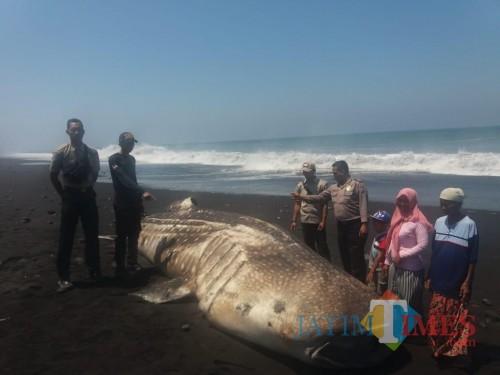 Inilah ikan paus sepanjang 6 meter yang terdampar di Pantai Selatan Lumajang (Foto : Moch. R. Abdul Fatah / Jatim TIMES)