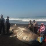 Paus Tutul Sepanjang 6 Meter, Mati Terdampar Di Pantai Selatan Lumajang