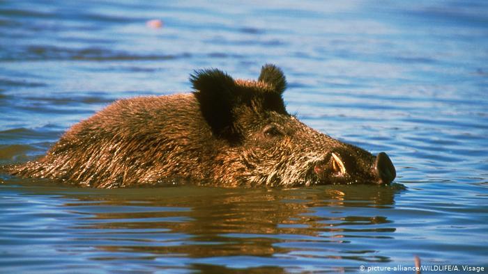 Malaysia klaim babi hutan liar Indonesia invasi wilayahnya (Ist)