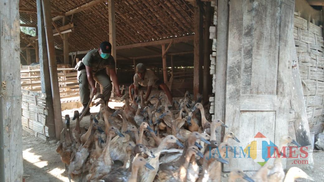 Satpol PP dibantu warga berusaha menghalau bebek untuk diangkut ke kandang lain milik Abu Talkhah (foto : Joko Pramono/Jatim Times)