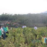 Stok Melimpah, Tembakau Lokal di Kabupaten Blitar Banyak Diminati