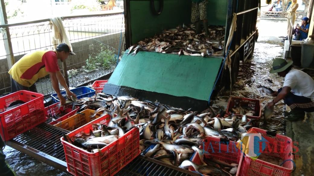 Produksi ikan patin Tulungagung yang melimpah (foto : Joko Pramono/JatimTIMES)