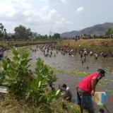 Pesta Ikan Mabuk di Dam Ngipeng, Budaya Tahunan Para Penghobi Iwak Kali