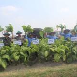 Panen Raya Tembakau di Desa Kedawung, Bupati: DBHCHT Terbukti Sejahterakan Petani Blitar