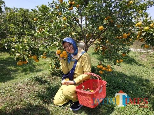Salah satu wisatawan telah memetik buah jeruk / foto Usman Hadi SH for JatimTimes