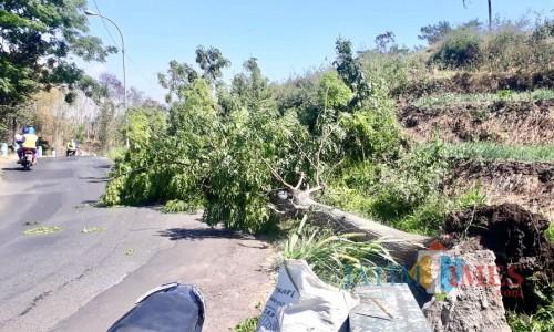 Pohon dengan diameter 100 centimeter dan tinggi 20 meter tumbang diJalan Ngukir, Dusun Ngukir, Desa Torongrejo, Kecamatan Junrejo, Rabu (2/10/2019).