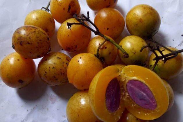 Buah Buni merupakan buah unik dari Indonesia. (Foto: istimewa)