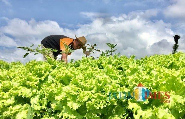 Petani saat membersihkan rumput di sekitar sayur andewi di Kelurahan Temas, Kecamatan Batu. (Foto: Irsya Richa/MalangTIMES)