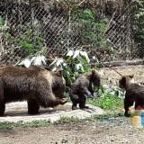 Kelahiran Dua Bayi Beruang Cokelat Tambah Koleksi Taman Safari Prigen