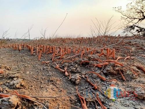 Tanaman Wortel yang tanahnya terbawa angin kencang pasca bencana alam di Desa Sumber Brantas.