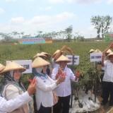 Musim Kemarau, Bupati Blitar Panen Raya Cabai Keriting Bersama Petani Desa Ngadri