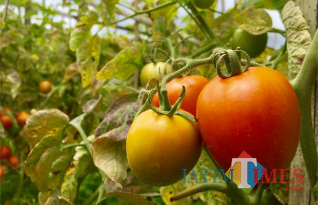 Tomat yang ditanam di Kecamatan Batu. (Foto: Irsya Richa/MalangTIMES)