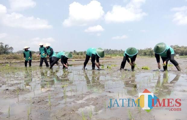 Petani tengah menanam padi (dokumentasi MalangTIMES).