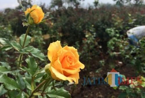 Bunga mawar yang ditanam di Desa Gunungsari, Kecamatan Bumiaji. (Foto: Irsya Richa/MalangTIMES)