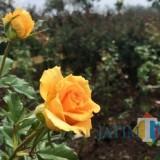 Imbas Kemarau Panjang, Produksi Mawar Kota Batu Turun Tajam