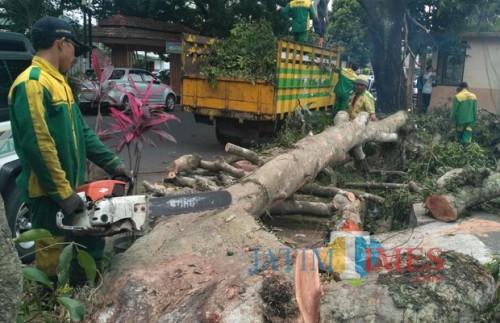 Ilustrasi pohon tumbang (Dok. MalangTIMES)