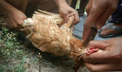 Ilustrasi penyembelihan ayam. (Foto: istimewa)