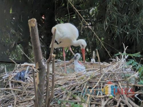 Induk White Stork bersama anaknya Kajtiek di Eco Green Park, Jumat (29/11/2019).