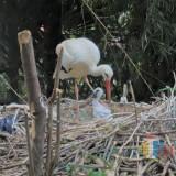 Eco Green Park Sukses Kembangkan White Stork, Penghuni Baru itu Namanya Kajteik