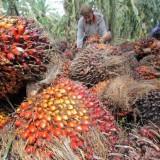 Gayung Bersambut, Pemkab Malang Siap Jadikan Malang Selatan Sentra Kelapa Sawit