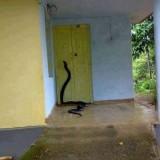 Viral, Ular Kobra Juga Menebar Teror di Kabupaten Malang, Burung Peliharaan Warga Mati Dimangsa