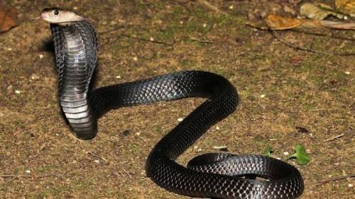 Kobra (istimewa)