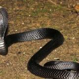 Ramai Teror Kobra, Ini Tips Aman Hindari Gigitan Ular
