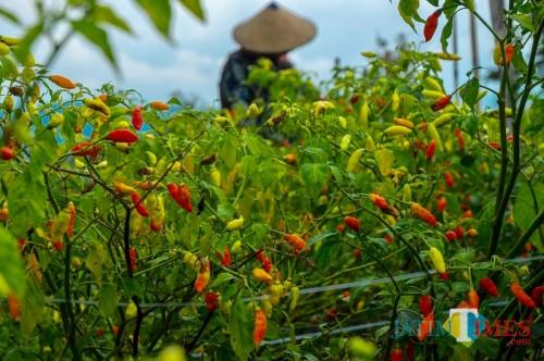 Pertanian cabai rawit beberapa mengalami busuk buah di Kota Batu.