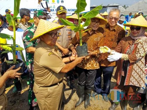 Bupati Blitar Rijanto memimpin penanaman pisang cavendis.(Foto : Malik Naharul/BlitarTIMES)