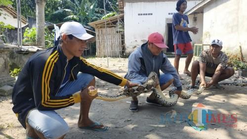 Ular Sanca Kembang Raksasa Hebohkan Warga Papungan Blitar