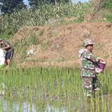 Dekat dengan Warga Binaan, Babinsa Koramil Wlingi Dampingi Pemupukan Padi