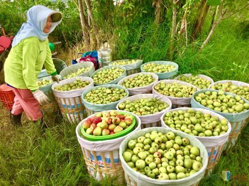 Salah satu petani saat menata apel usai panen di Desa Bulukero, Kecamatan Bumiaji. (Foto: Irsya Richa/MalangTIMES)