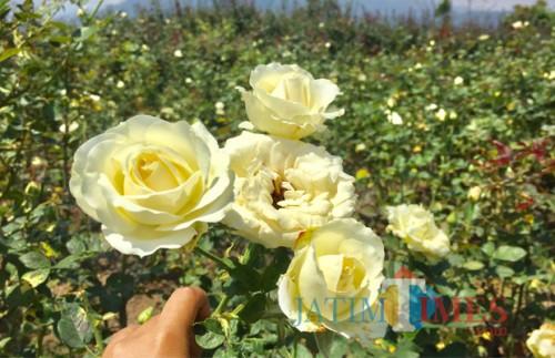 Lahan bunga mawar di Kota Batu. (Foto: Irsya Richa/MalangTIMES)