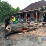 Hujan Deras dan Angin Kencang Tumbangkan Pohon Sawo Sarat Sejarah di Ponpes Tertua di Blitar