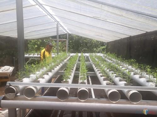 Syaiful Asy'ari, ketua Gapoktan (Gabungan Kelompok Tani) Nusantara Jawa Timur, saat melakukan perawatan pada tanaman kangkung yang ditanam dengan cara hidroponik. (Foto: Tubagus Achmad / MalangTimes)