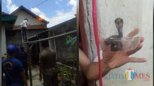 Pemusnahan sarang tawon vespa dan ular cobra yang berhasil ditangkap tim Damkar Satpol PP Tulungagung / Foto : Anang Basso / Tulungagung TIMES