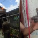 Damkar Satpol PP Tulungagung Musnahkan Tawon Vespa dan Ular Kobra dari Rumah Warga