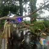 Lagi, Hujan Deras Disertai Angin Kencang Tumbangkan Pohon, Tutup Akses Malang-Blitar